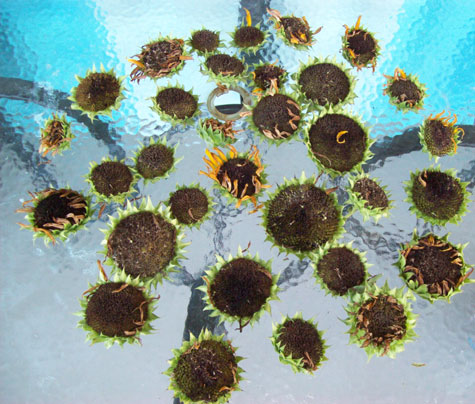 Here's a bunch of dead red sun sunflowers I deadheaded last week. Deadheaded about as many this past weekend, too. Sigh.