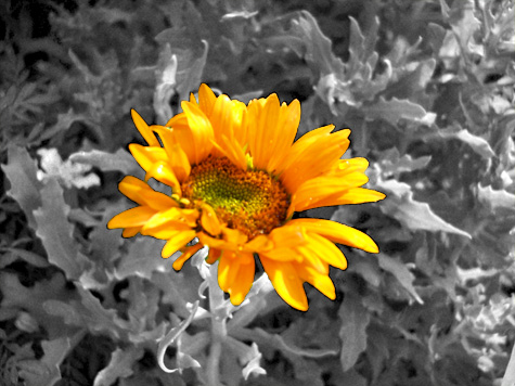 An african daisy in Kim's bed - one of many I have planted in various spots around the yard - finally bloomed. This is a Photoshopped version of the shot.
