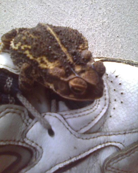 Assuming I'm sympathetic to his slumber, he hops back on the shoe.