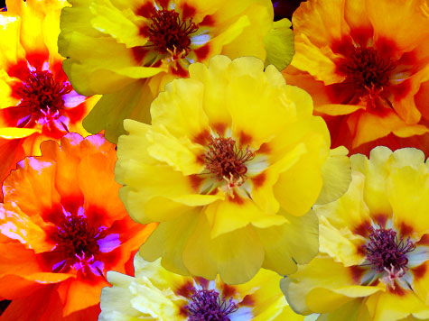 Portulaca (moss rose) art