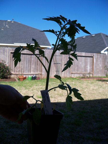 Beef Maestro tomato plant