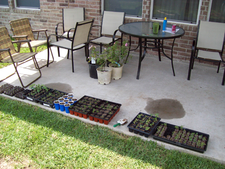 May 10, 2009: The day I built my flowerbed, these seedlings were ready to be transplanted.