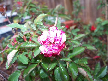 The Caldwell Pink rose has been on the verge of opening for two weeks now.