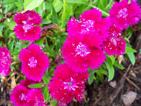 A post-watering shot of the bright red-purple dianthus that Kim planted last season or the year before in the front bed.