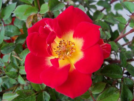 Neon Cowboy rose