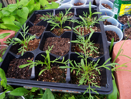 I started transplanting cosmos this week. Pictured here are some Happy Ring cosmos.