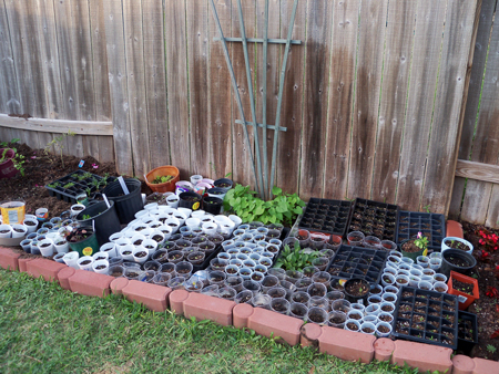 And to think, there used to be at least 50 more seedlings than pictured here.