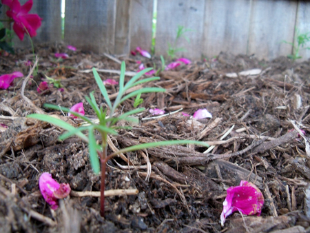 I transplanted at least eight cosmos between Kim's flower bed and the new bed.