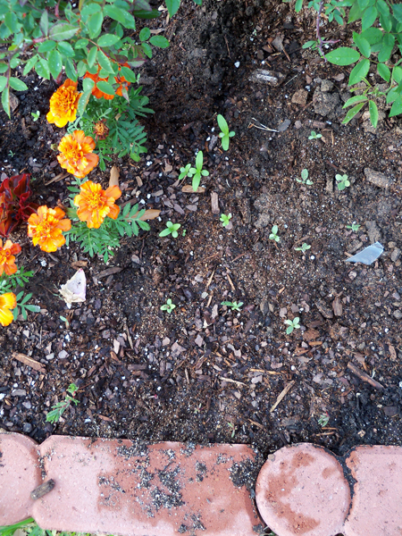 From left to right, some marigolds, some what I think are zinnias that I direct sowed a few weeks ago and the newly-transplanted blanket flower.