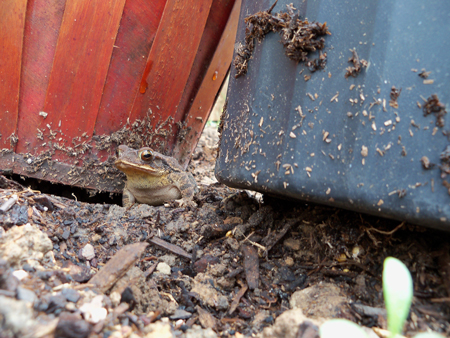 Here's a better shot of him. I found him under a strawberry pot.