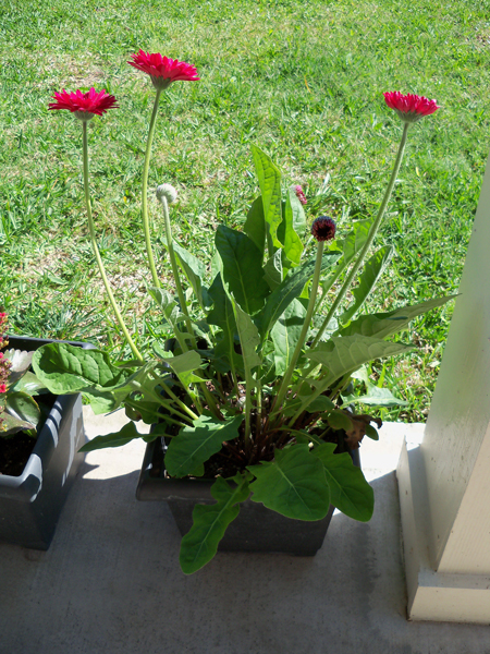 "This is a ""Lollipop Gerbera Raspberry"" gerbera jamesonii that Corina and I bought at Lowe's last year when it was discounted to, like 50 cents or something. We bought a companion one that's white with red accents that I put in my bed this year. It has grown a lot so far this spring."