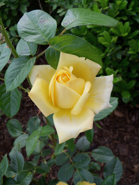 Then Kim's yellow rose in the front started putting on a show.