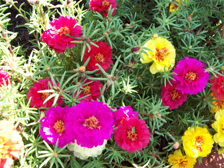 A shot of the portulaca from last year. Something to look forward to.