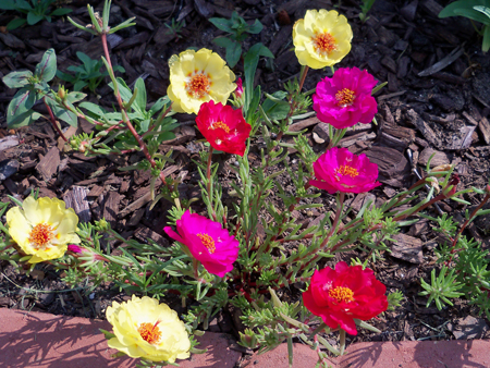 The portulaca are coming in nicely.