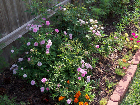 I shot the Caldwell Pink rose bush from another angle, in an attempt to do it justice.