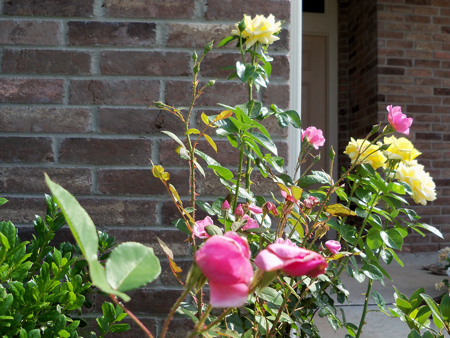 The Betty Prior and Kim's yellow rose greet people at the front entrance.