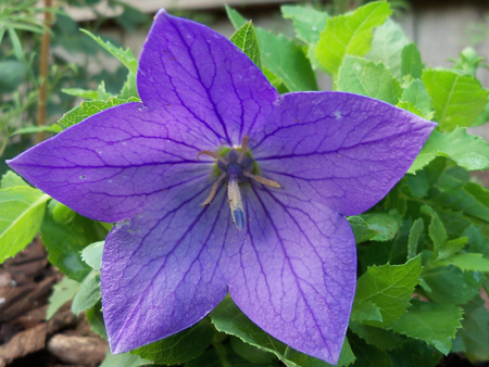 """This is a Platycodon-Sentimental Blue, that I picked up for less than $2 at Enchanted Forest. It's also known as a """"balloon flower."""" I put it in the middle of my established original bed."""