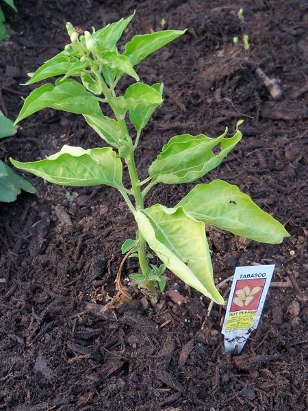 Hot Tabasco pepper plant.