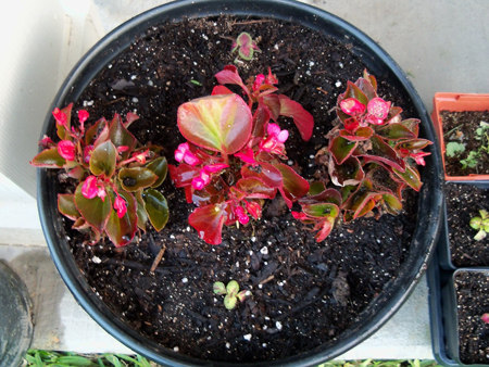 It's getting too hot in the original bed for the begonias I bought in a 24-pack from Houston Garden Center. So, I pulled two of the best ones out and surrounded the one I left on the porch in this new container that previously held a strawberry, that I planted in the ground. There really is no excuse for the length of that last sentence. And, I added two coleus for good measure.
