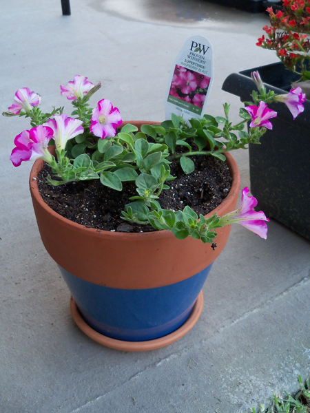 Here's what I got mom for Mother's Day - a quart Super Petunia from Proven Winners that I've been hearing so much about.