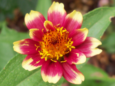 The first of the Mexican Zinnia Persian Carpet Mix. Nice. The seed packets were 75 cents each from Park's Seed. Bonus.