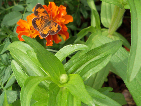 A butterfly. On a marigold. Nice.