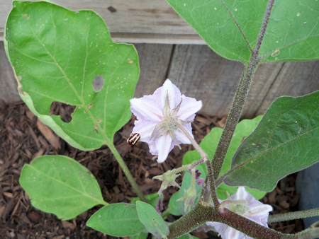 First blooms of the eggplant, May 16.