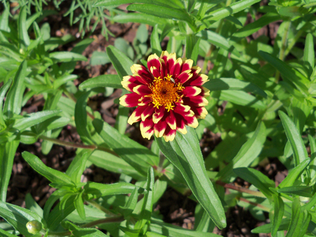 And the Persian Carpet mix zinnia are looking really good, too.
