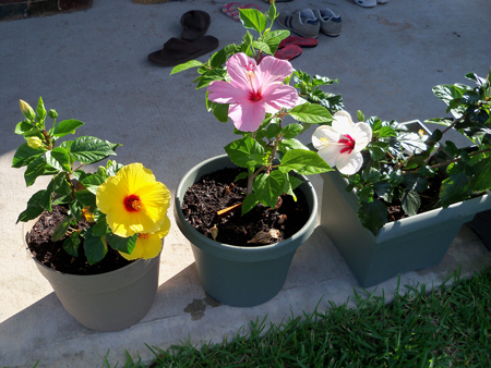 Three of the four hibiscus flowered simultaneously this week.