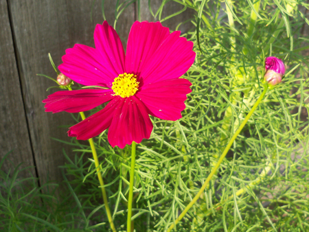 This magenta cosmos from the psyche mix seed packet was actually the first to bloom, earlier this week.