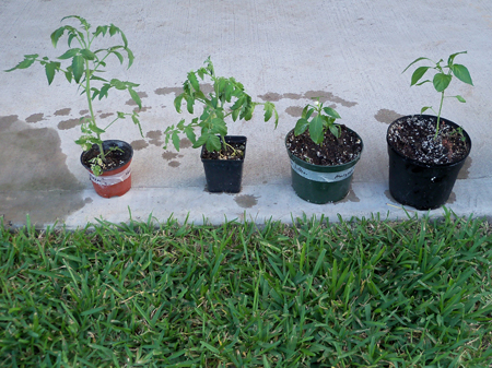 The new additions: The tall tomato, the short tomato, the short pepper and the tall pepper.