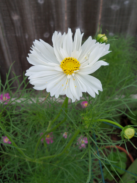 And, ka-bloom. A white cosmos on a very large and staked plant, shot today.
