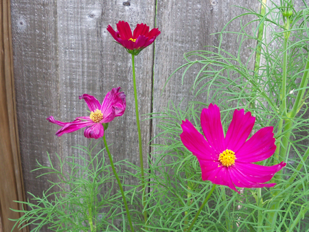 Here's a shot of the magenta psyche cosmos from today.