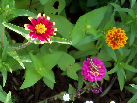 The zinnias are attracting all sorts of wildlife.