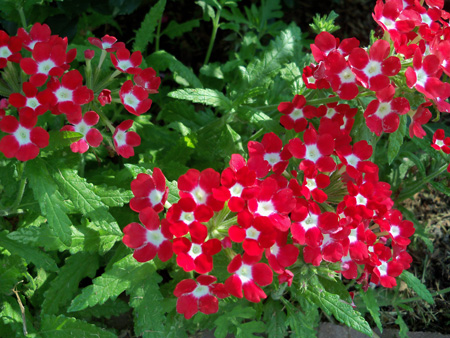The red and white verbena haven't looked better.