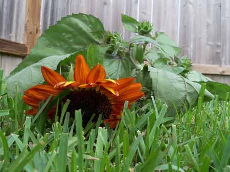 But on Wednesday, a big wind storm blew threw and blew it down, and caused a lot of damage to the overgrown zinnias and cosmos.