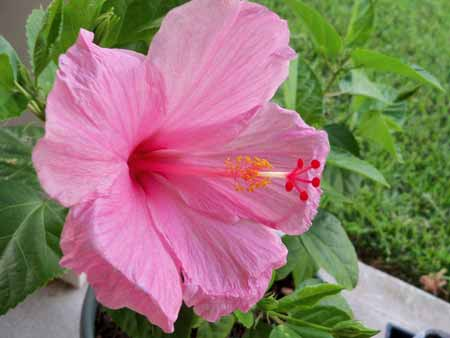 The seminole hibiscus bloomed again. That's the second time, since we picked it and the indian princess up at the hibiscus show in Pasadena. The Indian Princess still hasn't bloomed yet, its blooms keep falling off.
