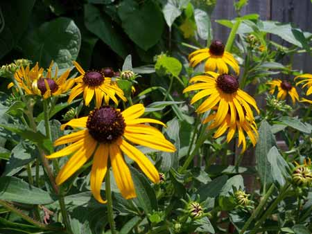 These black-eyed susans - the only thing still left from last year's father's day gift from Kim and Corina - are going wild.