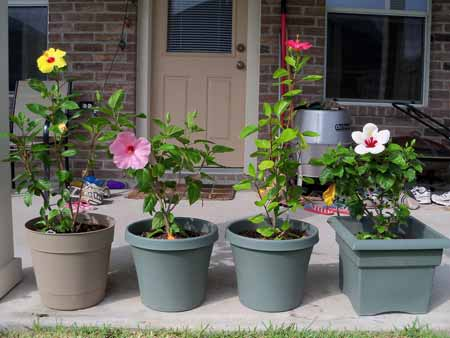 A row of all four hibiscus, in bloom.