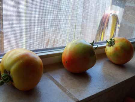 Three Top Gun tomatoes I picked. The rain made 'em ugly.