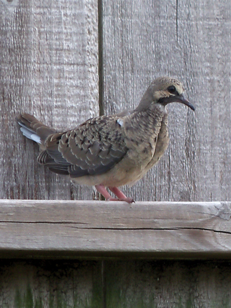 This, I believe, is the baby dove who was born in our backyard oak tree.