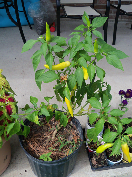 A Hungarian hot wax pepper plant given to me by Kim's Uncle Bennie