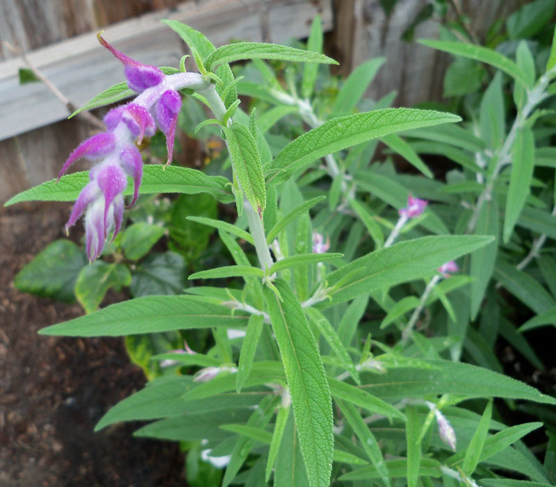 This salvia was also planted in the fall next to the birdbath, and it has started flowering in the last few days.
