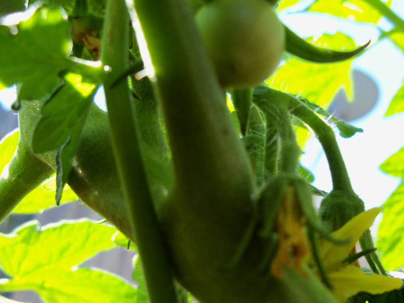 The better bush burpee tomato is starting to fruit. It's the only tomato I'm growing this year. In a container.