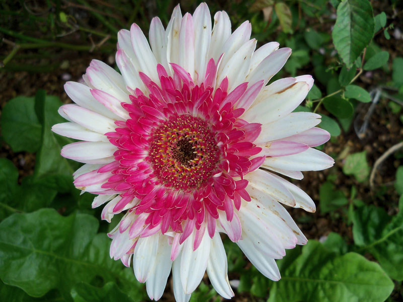 The pink and white gerbera daisy.