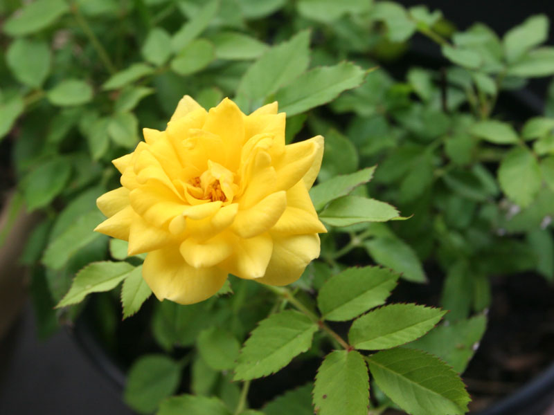 The yellow miniature rose bloomed again. It was one of those grocery store roses that Kim bought for me, I believe for Valentine's Day. It struggled indoors, so I potted it up and put it out.