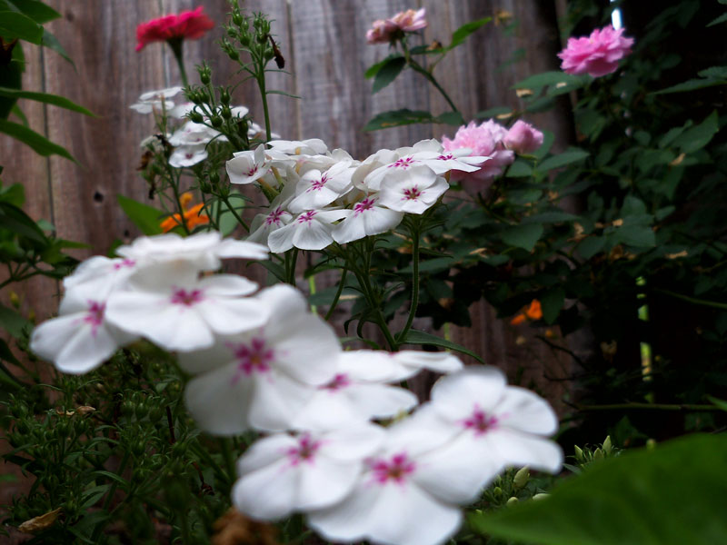 Backyard phlox that perennialized from last year. I learned how to save its seed. Maybe no more four o'clocks next year, and more phlox.
