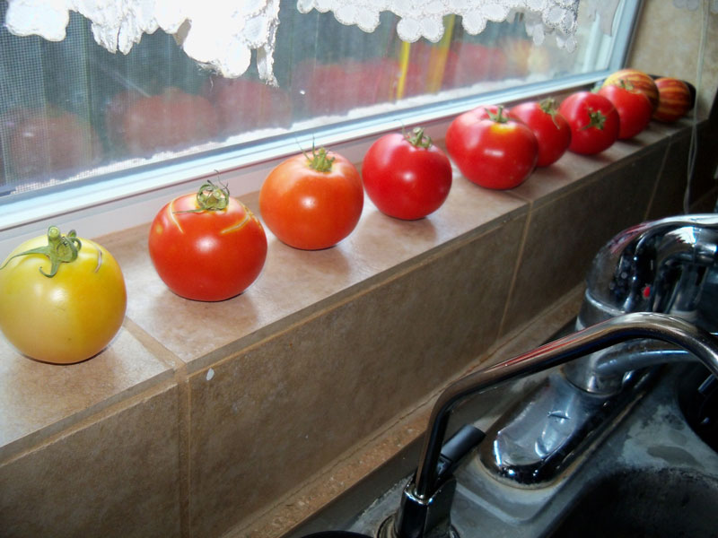 A row of tomatoes, photo taken June 7