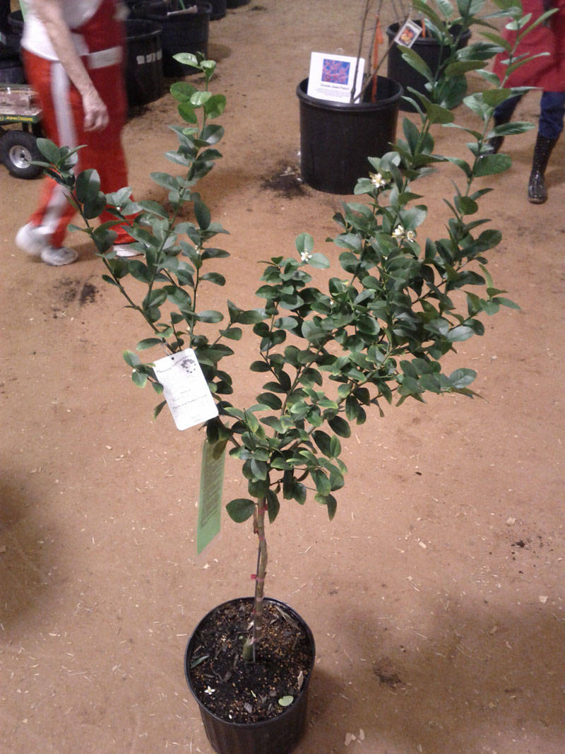 I bought this dwarf key lime tree at the FBMG fruit tree sale. I think I'll keep it on the patio.